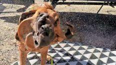 NUDE Dog Wash - EXTENDED VERSION | Bloodhound Bath | Naturist 4K